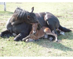 Oxygen Deprivation in Newborn Foals